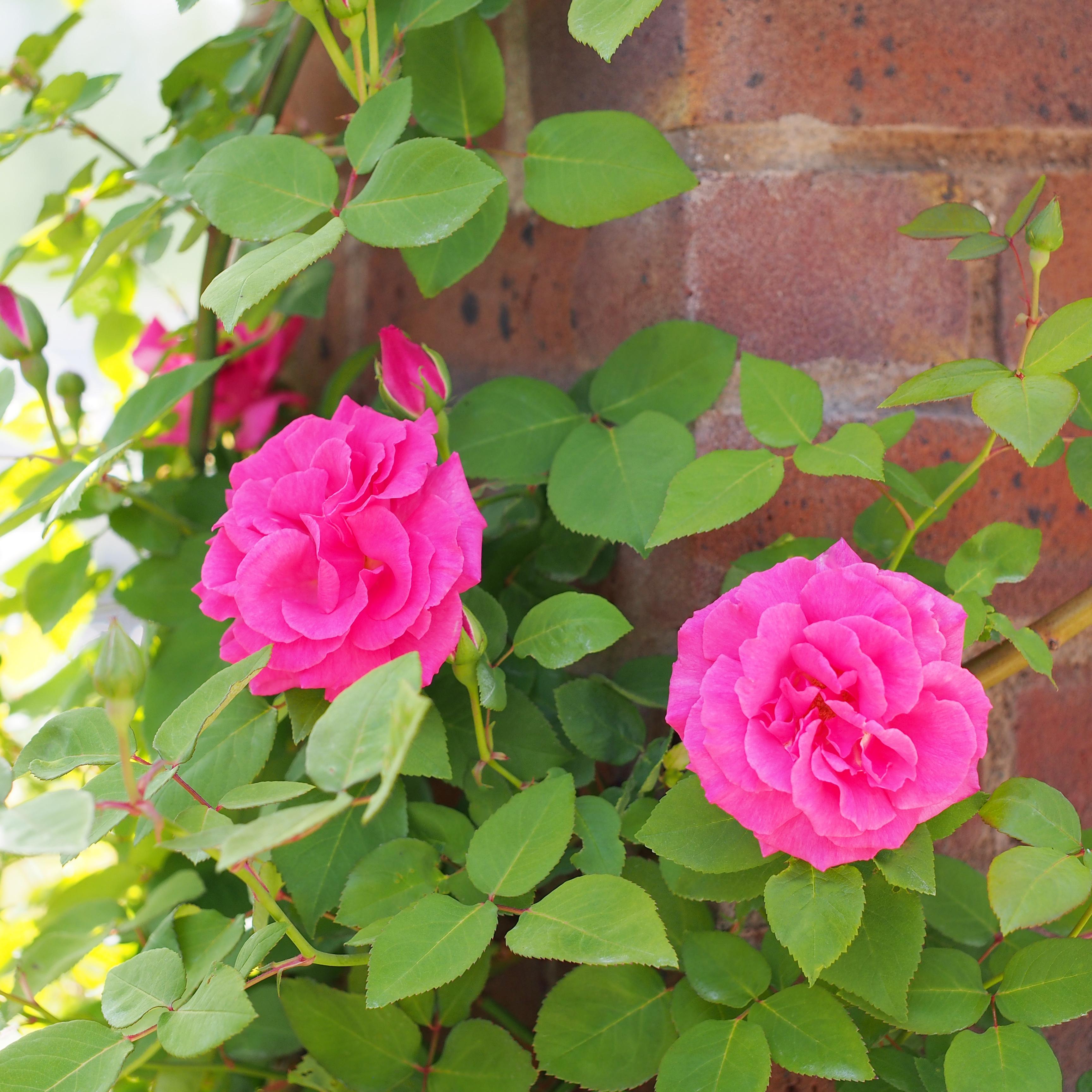 Zephirine Drouhin Climbing Rose best roses for arizona   john denson's world of gardens